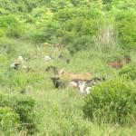 Ebene südlich Nazaré: Ziegenherde